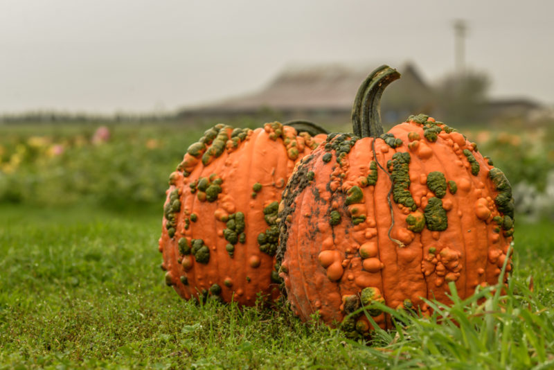 two pumpkins and the farm