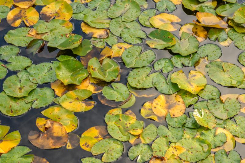 water lilies leaves floating