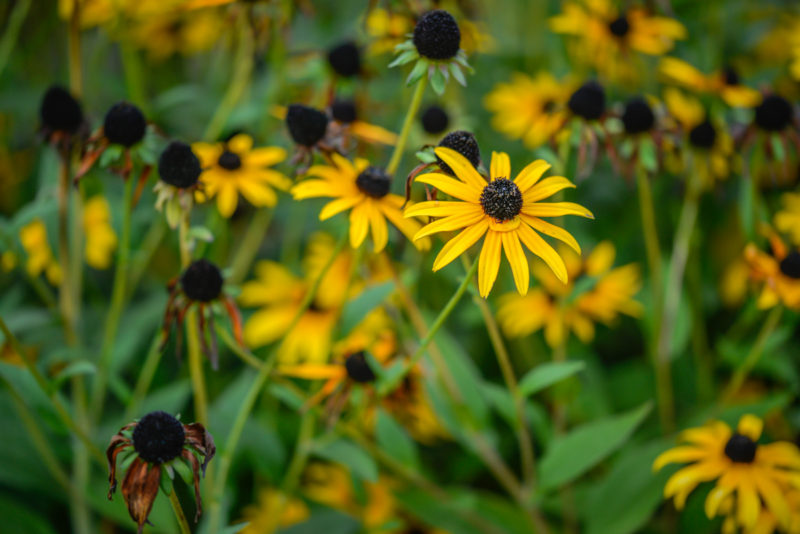 black-eyed susan flower