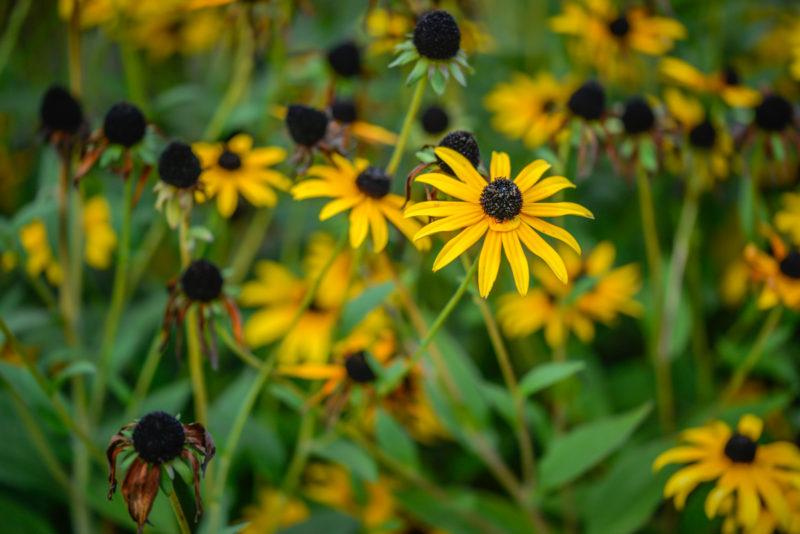 black-eyed susan flower