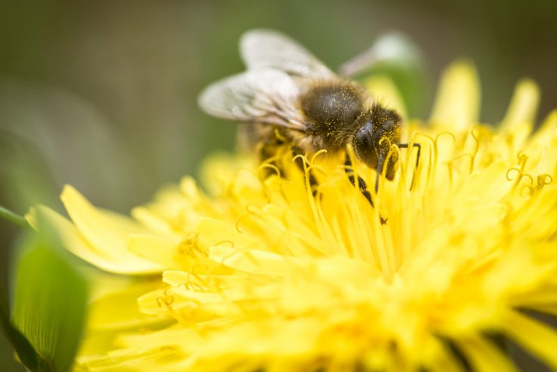 Honey Bee Pollinating a Dandelion Flower