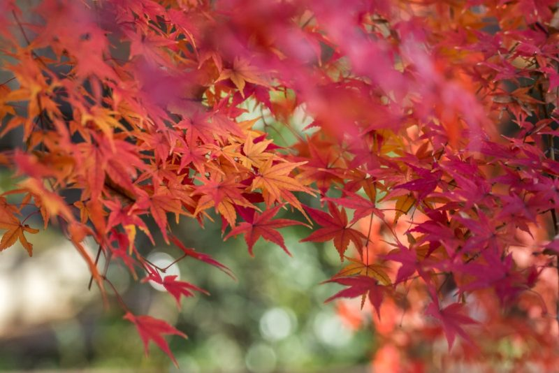Orange & Red Leaves of a Japanese Maple Tree