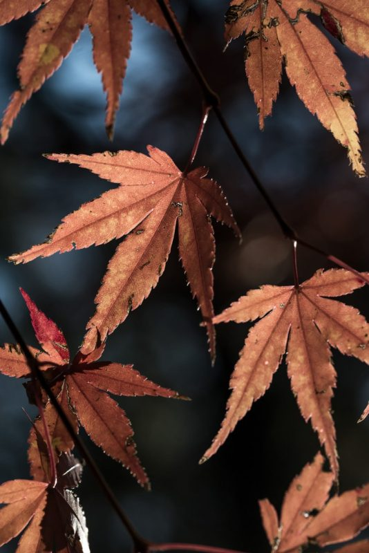 Brown Leaves of a Japanese Maple Tree in Autumn