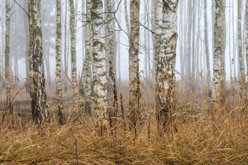 Birch-Trees in the Forest