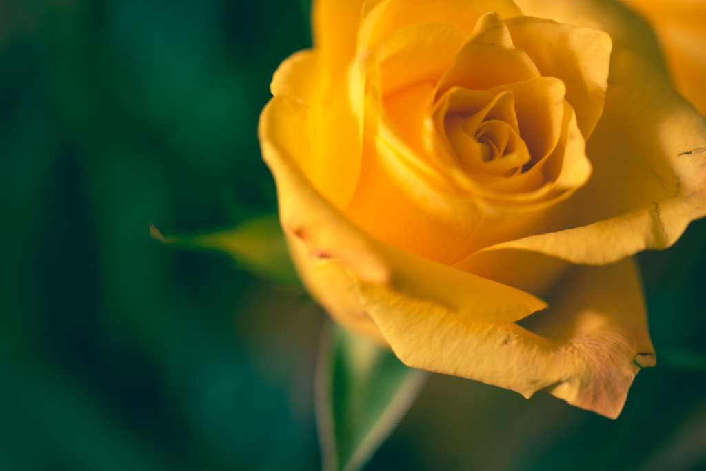 picture of a yellow rose