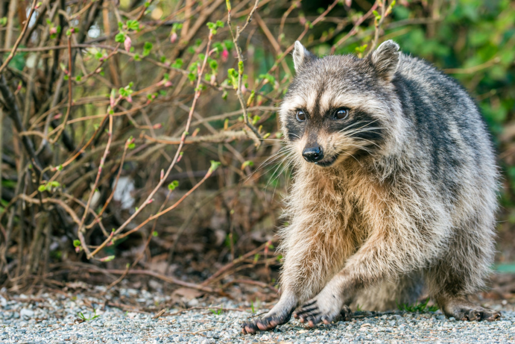 Picture of a very friendly raccoon
