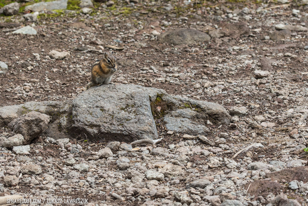 Chipmunk in Garibaldi Lake Campground