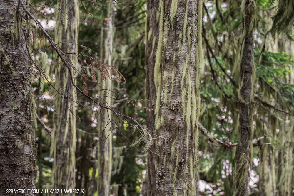 Garibaldi Lake Hike Trees on The Way, BC, Canada