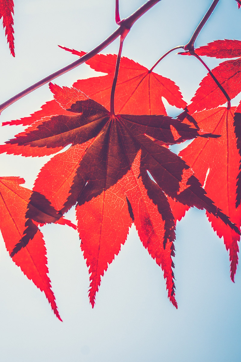 Red leaves on plain background