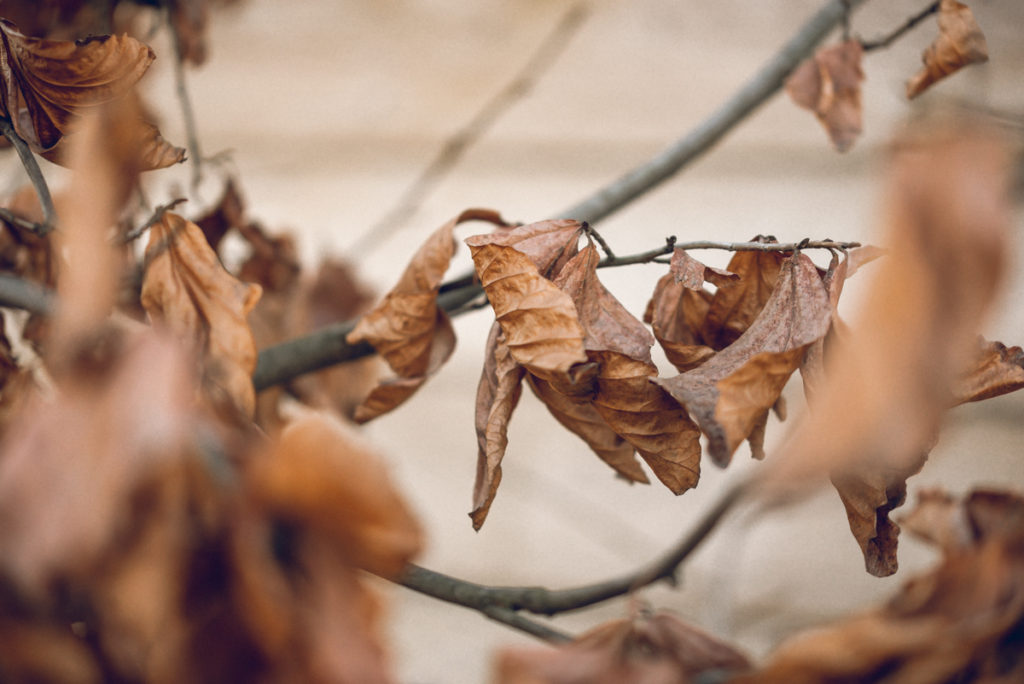 Picture of Dead Leaves on a Tree