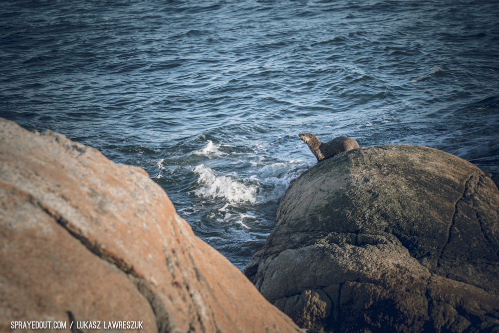 Seal Enjoying Lighthouse Park in West Vancouver