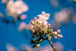Beautiful Cherry Blossom Blooming