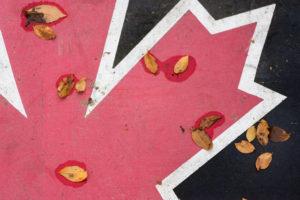 Canadian Maple Leaf in Fall