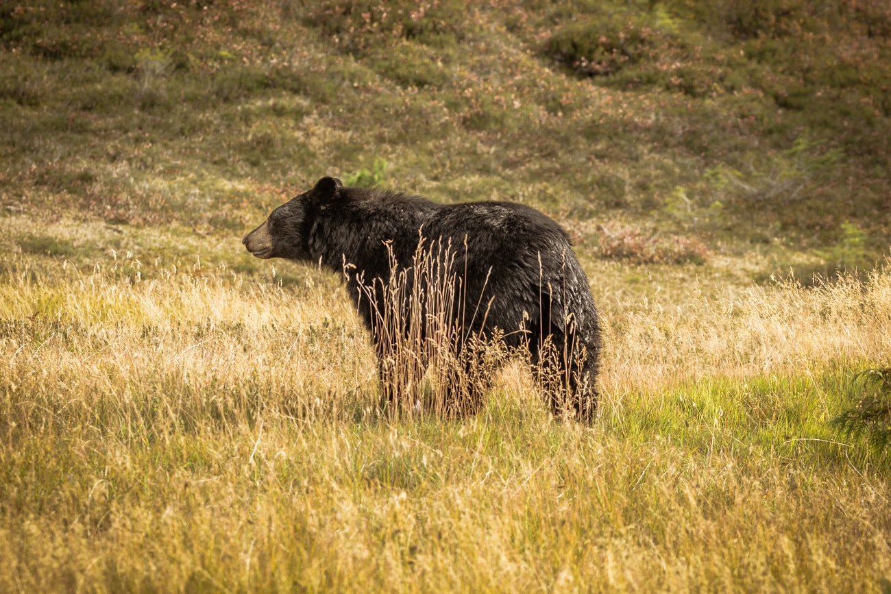 Black Bear in Garibaldi Provincial Park spotted on the way to Elfin Lakes.