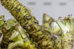 Fresh Wasabi Root : Free Picture