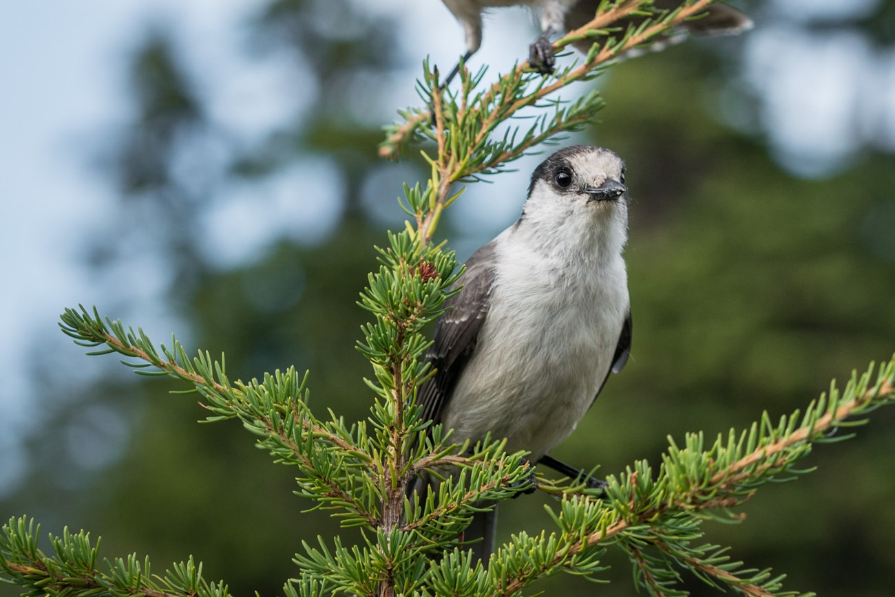 Closeup of a Gray Jay Bird on a tree in Garibaldi Provincial Park, Canada.