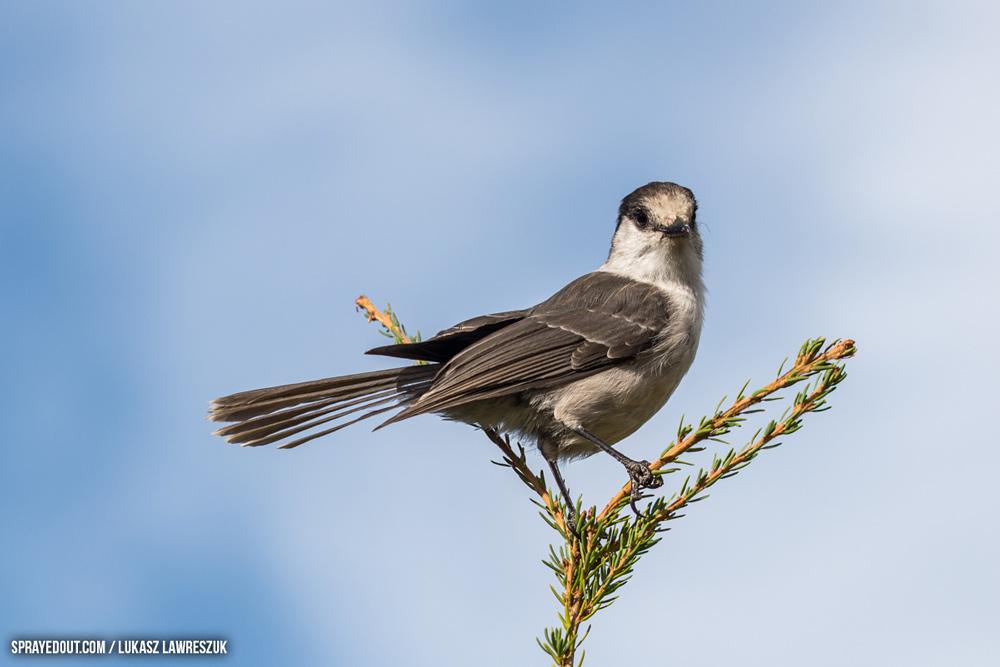 Grey Jay on a tree