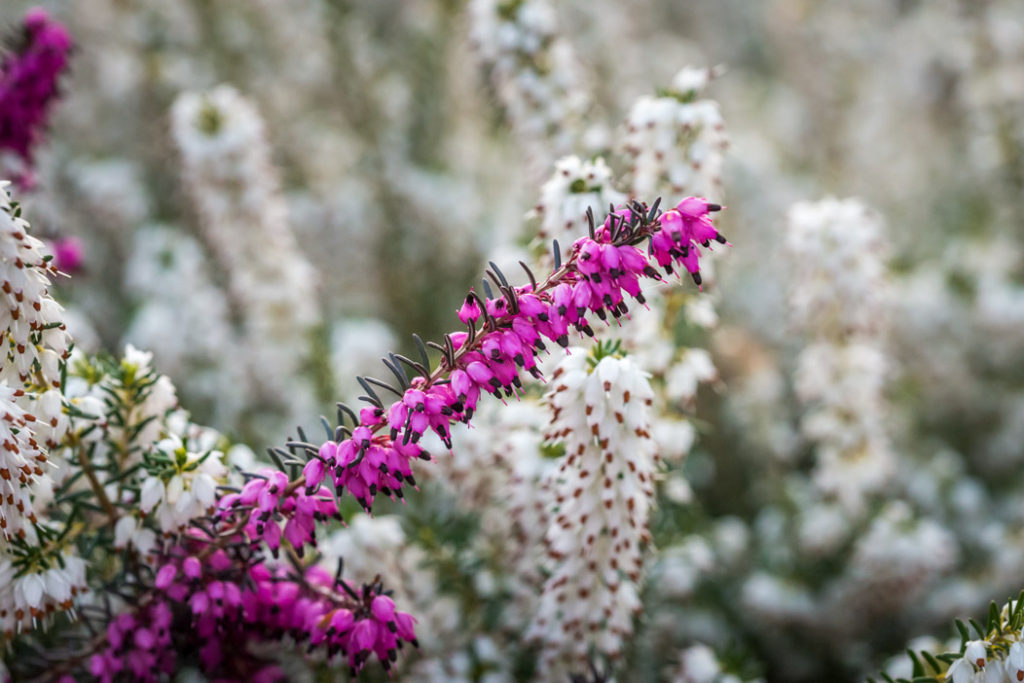 Erica Darleyensis 'Kramer's Red' - Winter Heathers