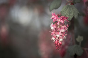 Ribes Sanguineum, free picture to download for your blog.