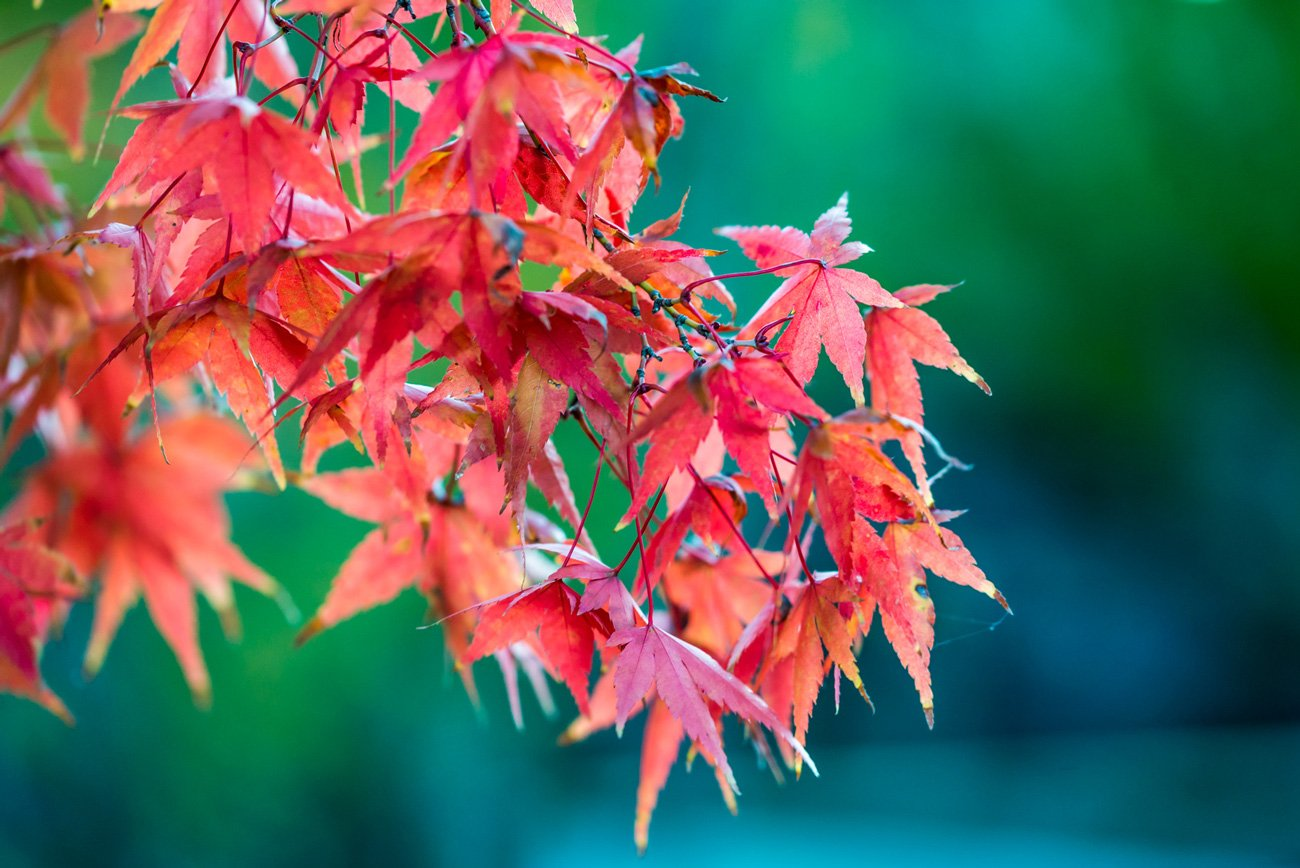 Autumn red leaves of maple leaf tree. Free picture for blog posts and web articles.