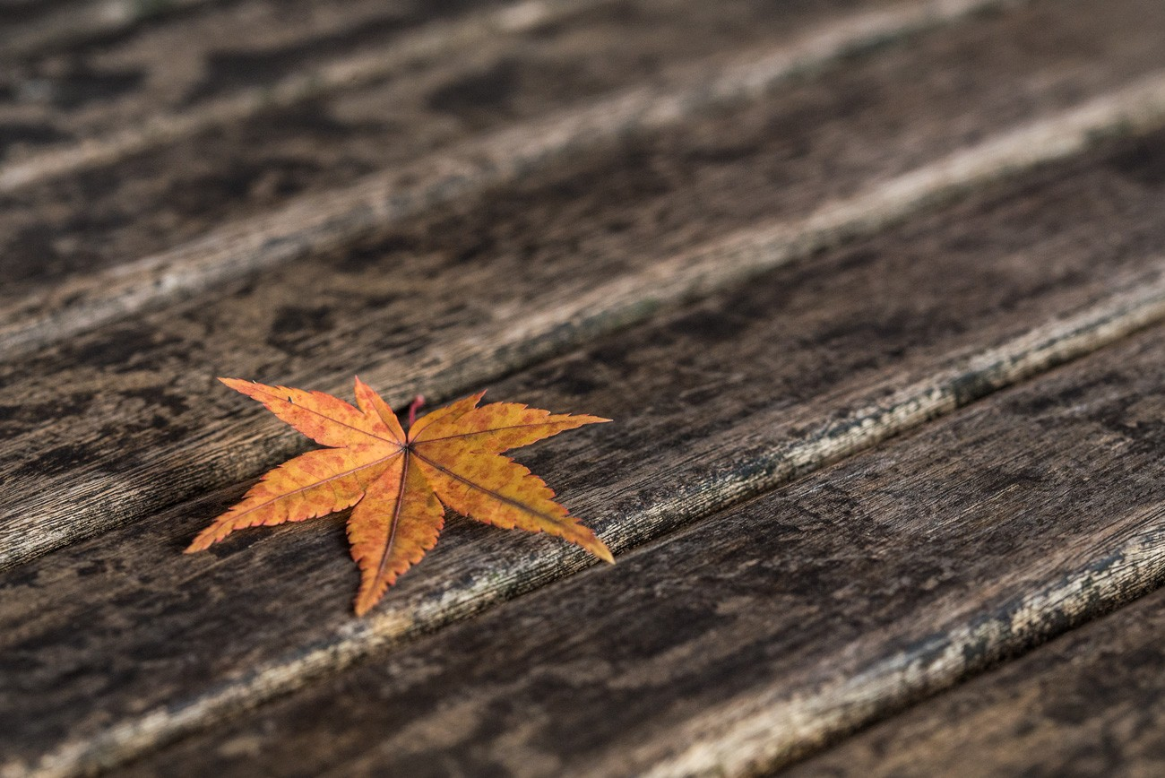 Small Maple Tree Leaf in Autumn. Free Picture for Bloggers or Article Writers.