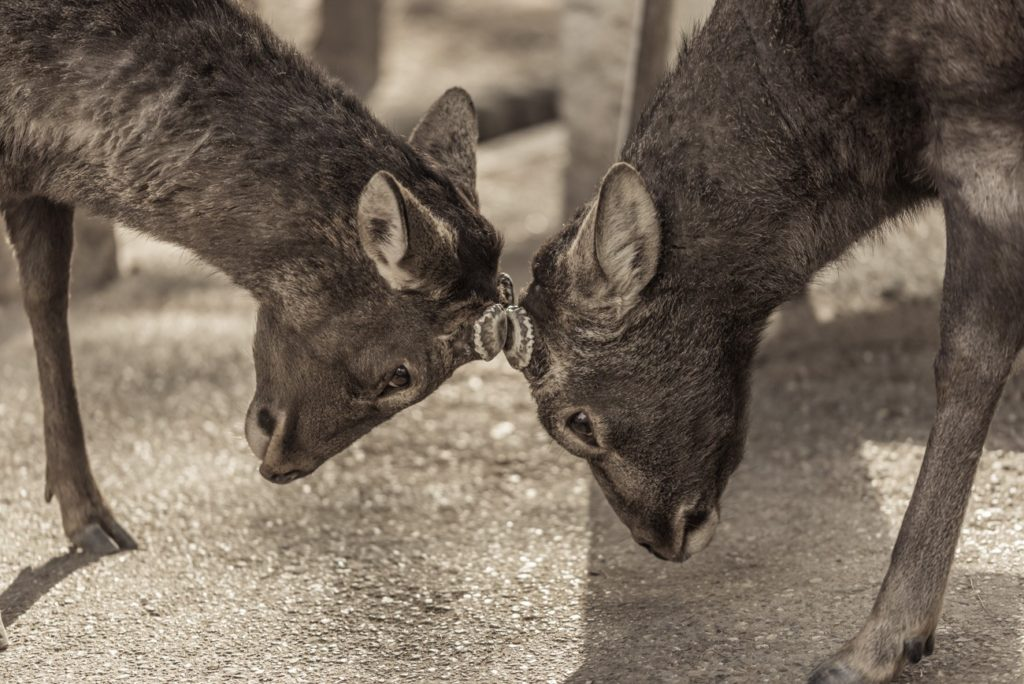 Silka Deer Bucks Facing Each Other in Nara, Japan. Free picture for Your Blog or Web Article.