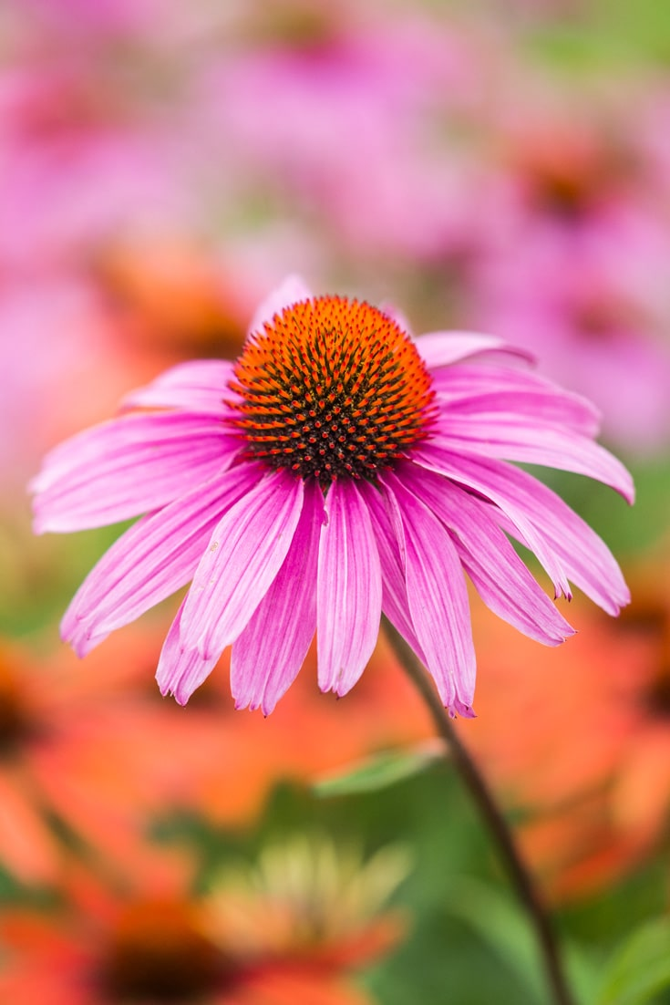 Purple Coneflower Echinacea Purpurea Flower. Free Picture for Blogs.