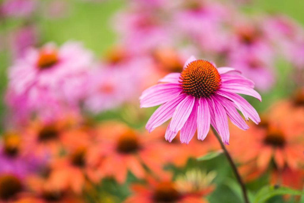 Purple Coneflower Echinacea Purpurea Flower