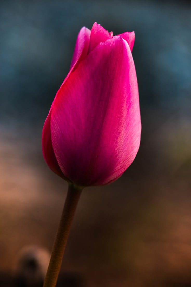 Beautiful tulip flower, pink and purple. Free image for your blog.