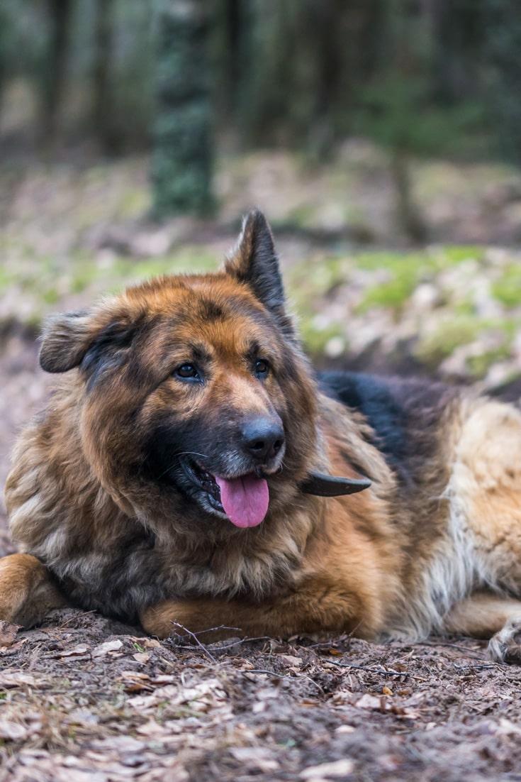 German Shepherd dog resting.