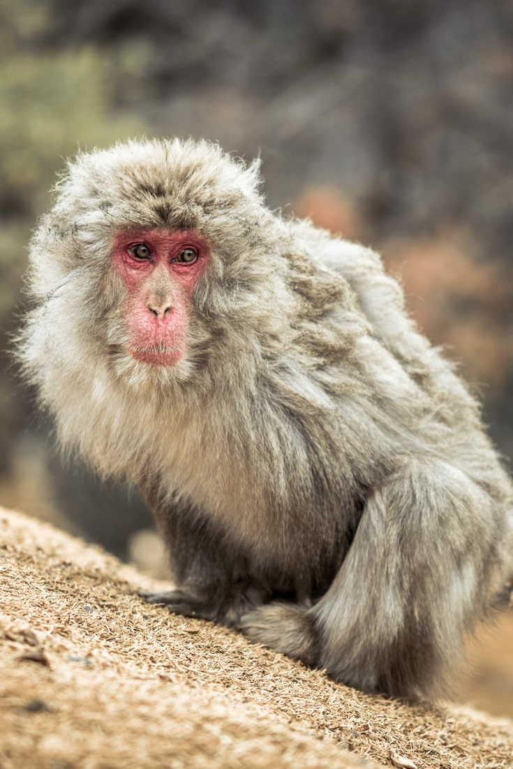 Japanese Macaque, Snow Monkey in Arashiyama (Iwatayama Monkey Park) near Kyoto.