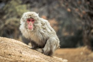 Japanese Macaque, Snow Monkey in Arashiyama (Iwatayama Monkey Park) near Kyoto. Free picture for bloggers.