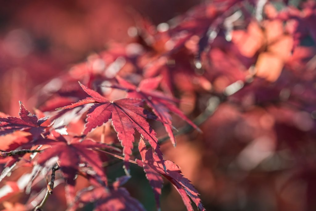 A closeup picture of a Japanese Maple tree in Autumn and its red leaves. Free picture for bloggers.