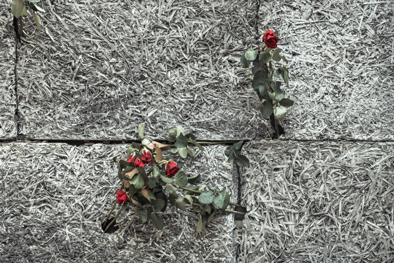 Red roses growing through the death wall in Auschwitz.