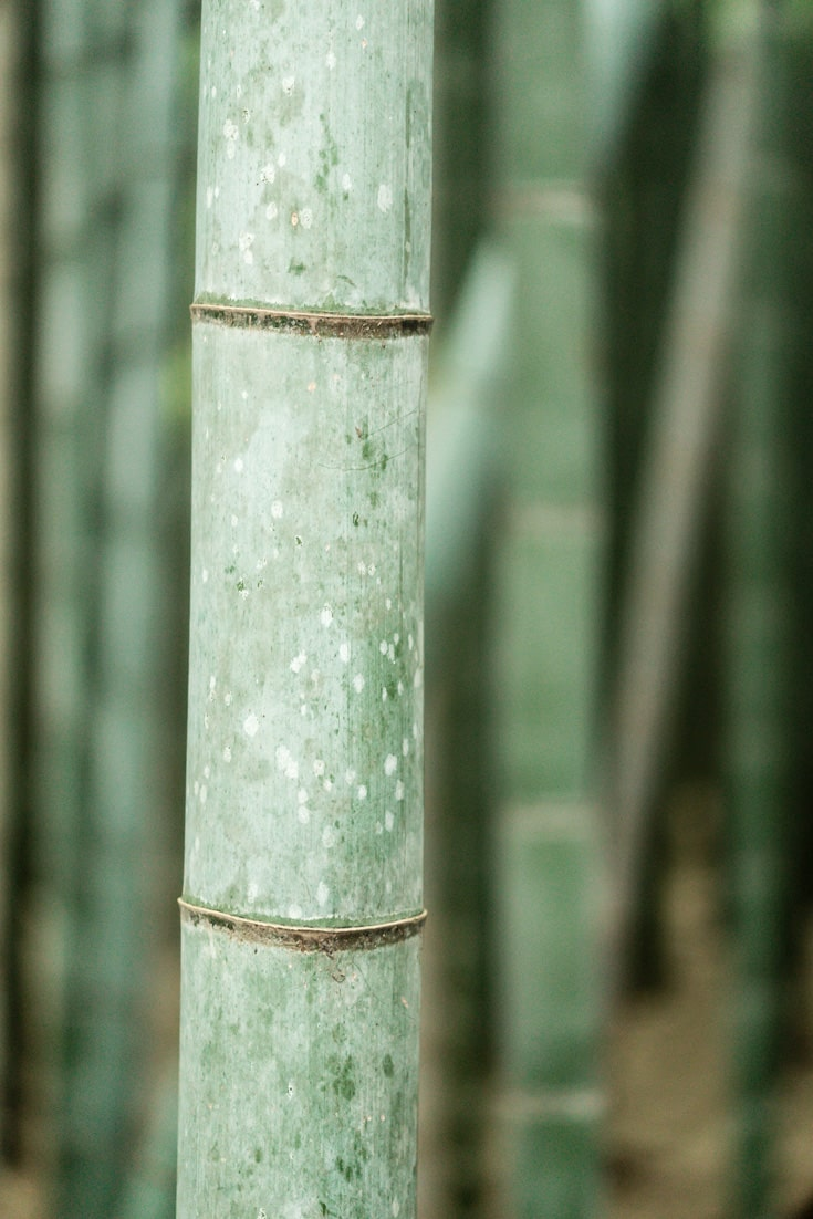 Closeup of a Bamboo Grass Plant in Arashiyama, Japan.