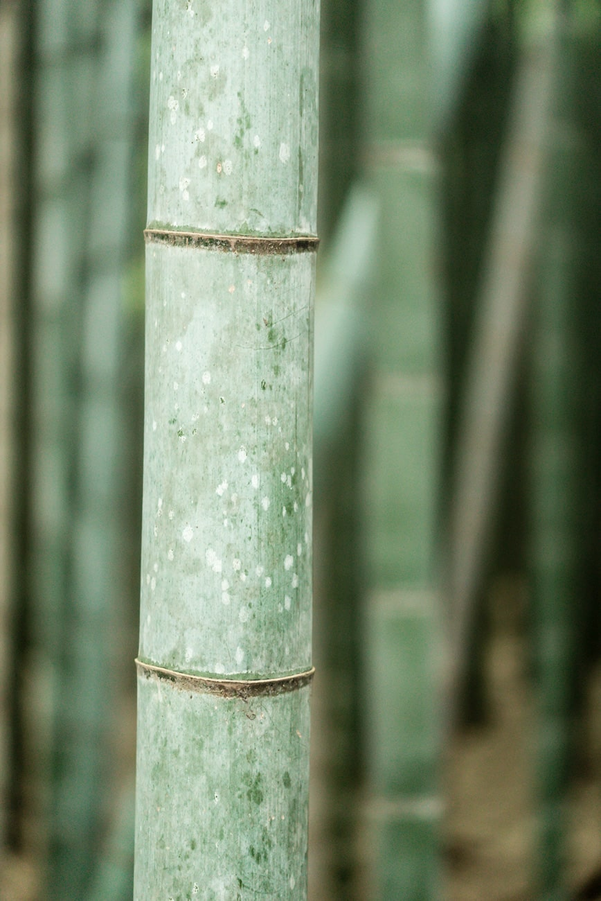 Closeup of a Bamboo Grass Plant in Arashiyama, Japan