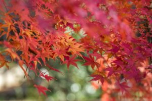 Orange, Yellow & Red Leaves of a Japanese Maple Tree during fall in Tokyo, Japan.