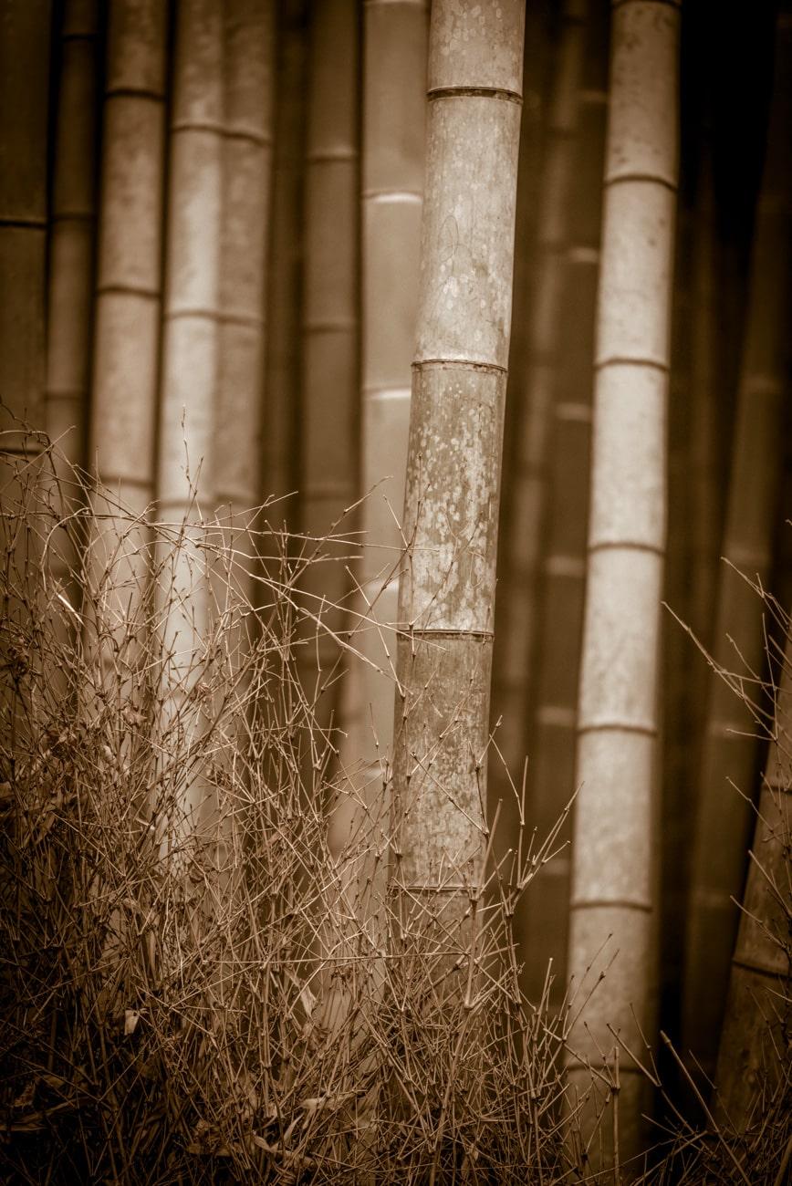 Bamboos in Artistic Sepia