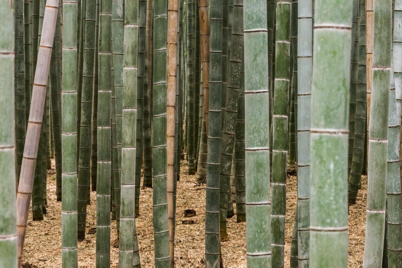 Bamboos Growing in Japan