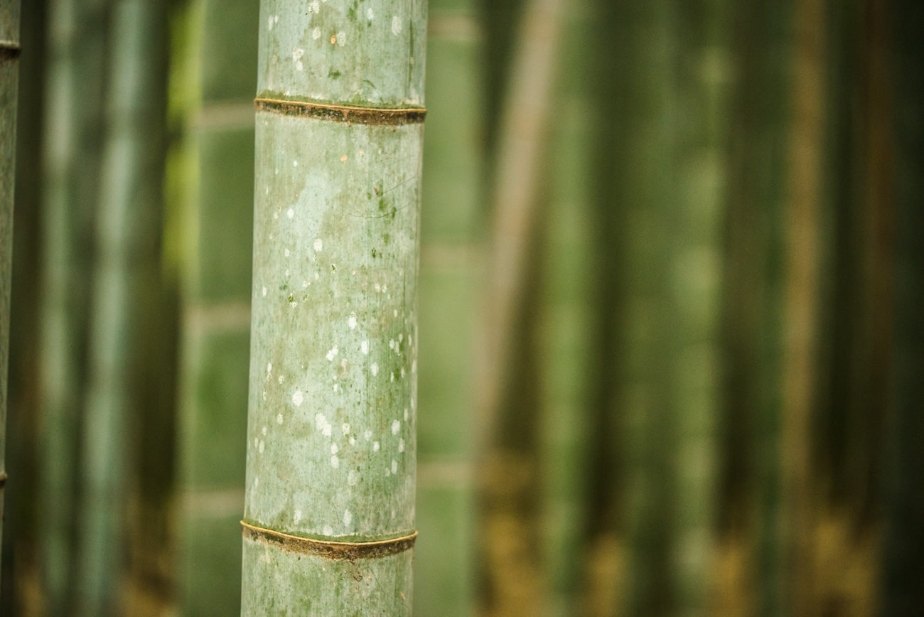 Closeup Bamboo in Arashiyama Near Kyoto, Japan.