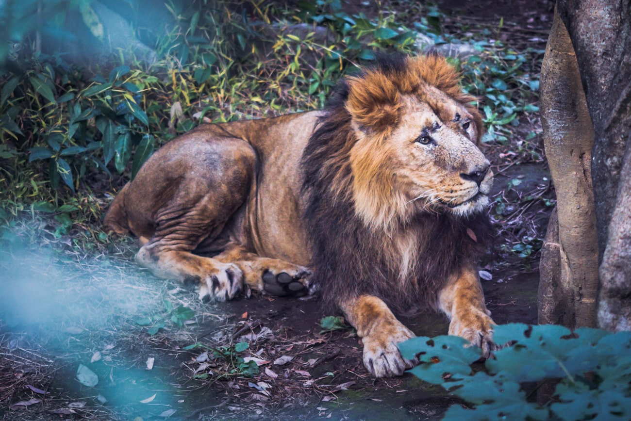 A beautiful male Lion laying on the ground in Ueno Zoo, Tokyo, Japan.
