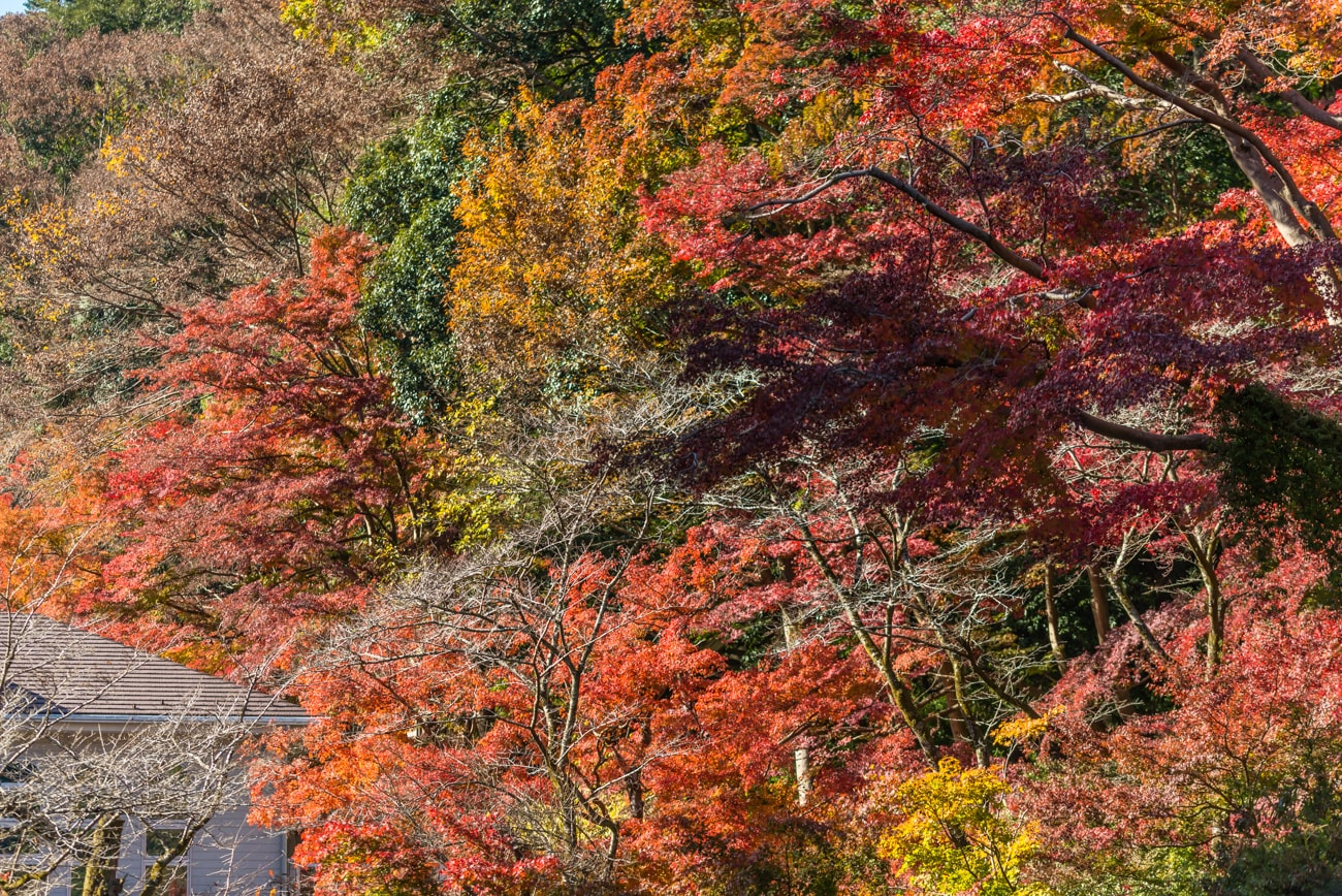 Colorful leaves on the trees in Autumn at Mt. Takao
