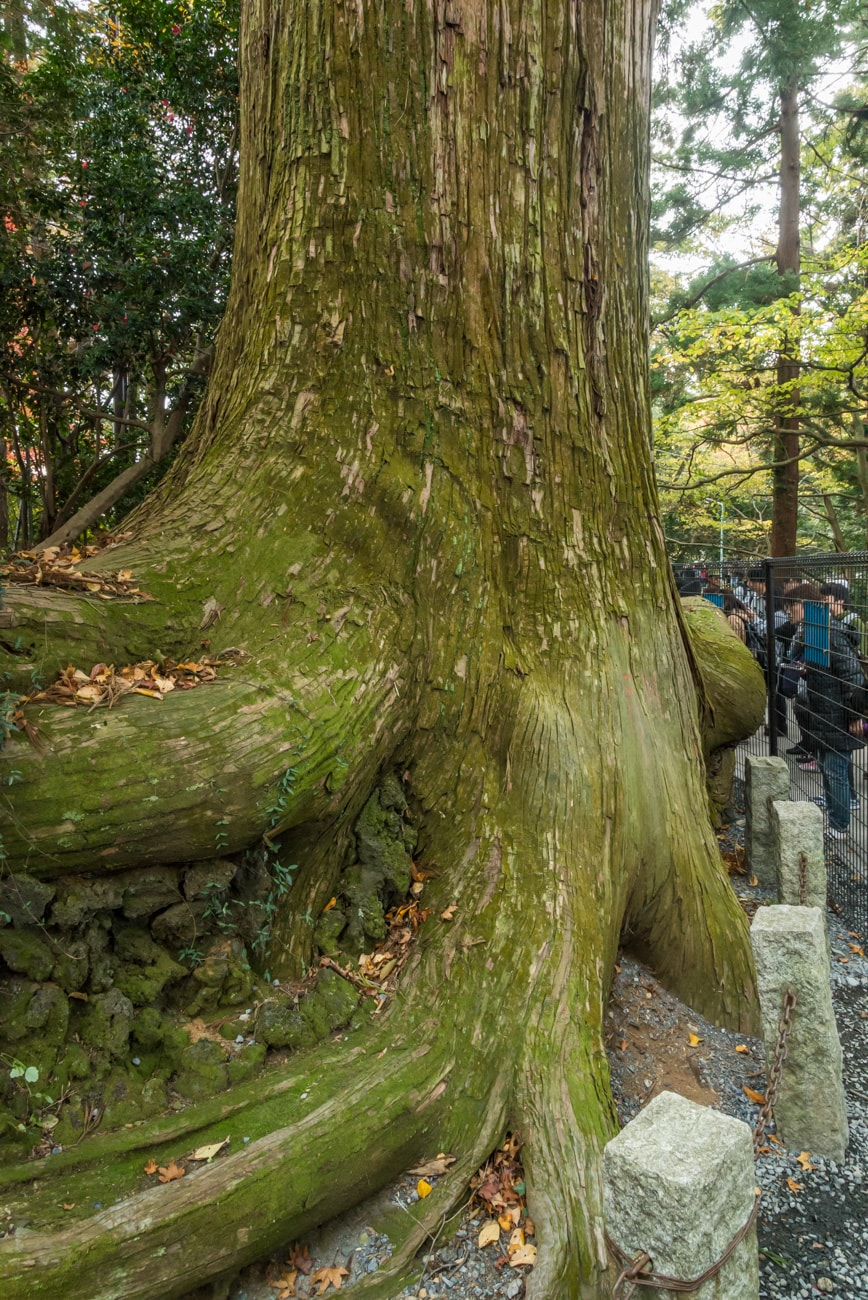 Tako-sugi - over 500 years old octopus-like cedar tree on Mt. Takao in Tokyo.