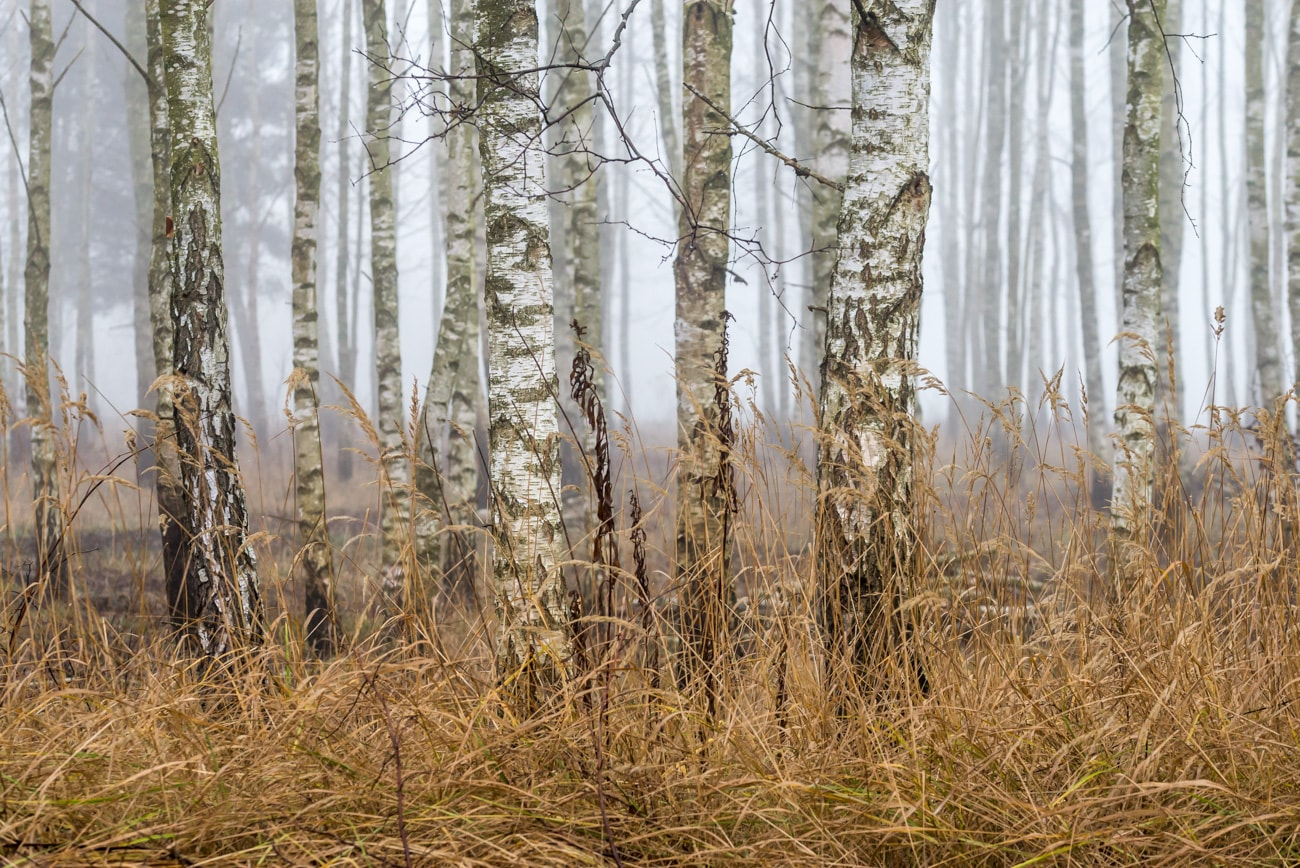 Birch-Trees in a forest on a foggy day in winter.