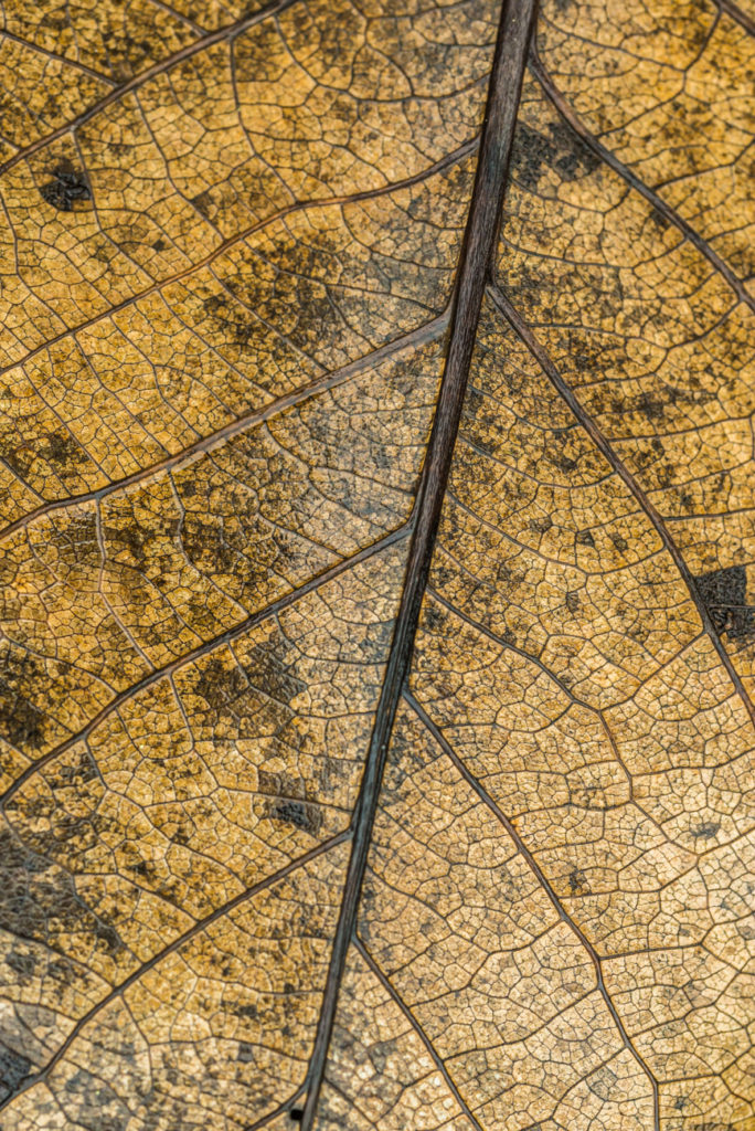 Closeup picture of a dead leaf showing it's anatomy.