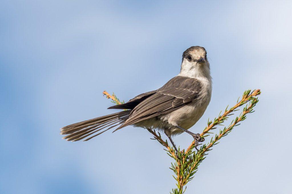 Whiskey Jack bird (Gray Jay) sitting on a tree on a blue background.
