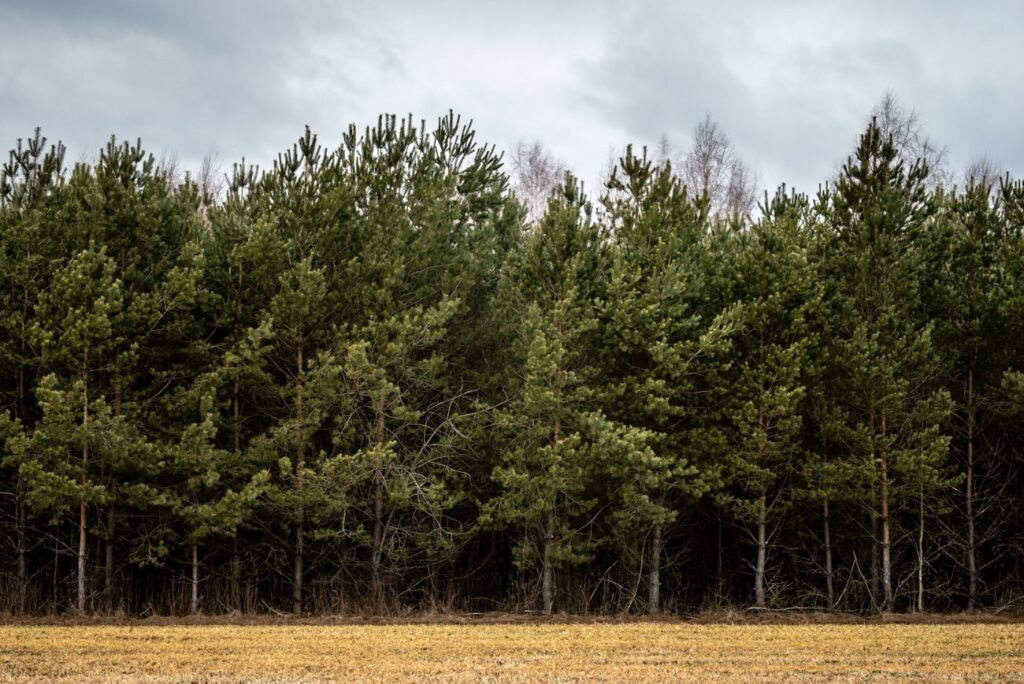 Coniferous Forest: Pine Trees