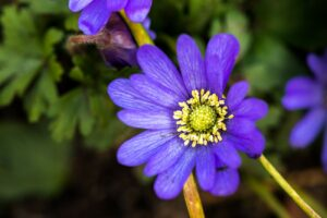 Anemone Blanda Purple Flower Closeup