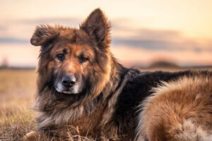 German Shepherd Dog: Portrait at Sunset