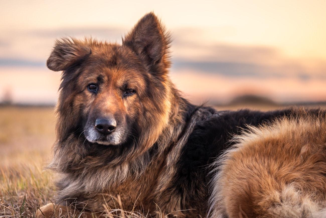 German Shepherd Dog: Portrait at Sunset